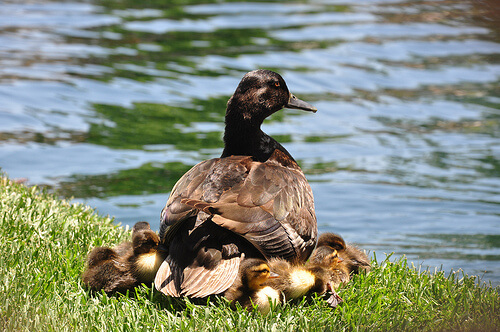 Ducks in the Rivers of America