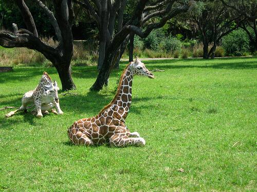 Baby giraffes on Kilimanjaro Safaris