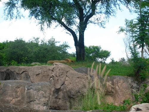 Lion on Kilimanjaro Safaris