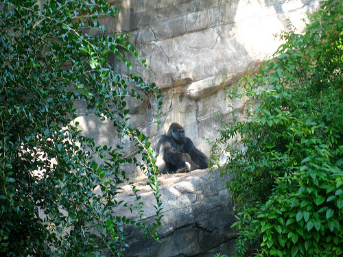 Gorilla sitting contently on the Pangani Forest Exploration Trail