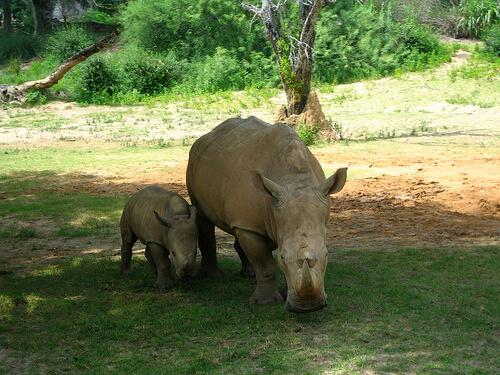 Rhino and baby rhino on Kilimanjaro Safaris