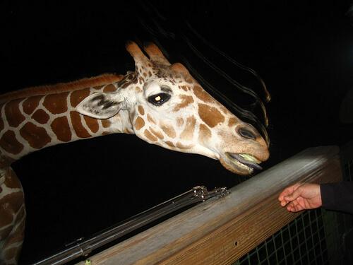 Serengeti Night Safari at Busch Gardens Tampa Bay