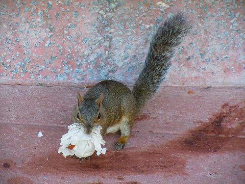Squirrel with trash