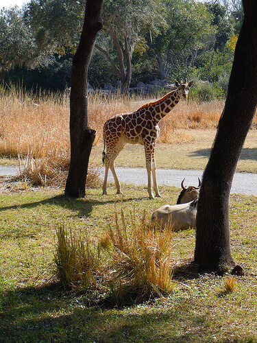 Giraffe on savannah