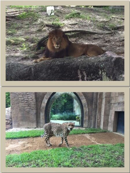Lions and Cheetahs