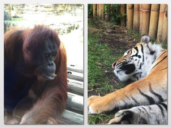 Orangutan and Tiger