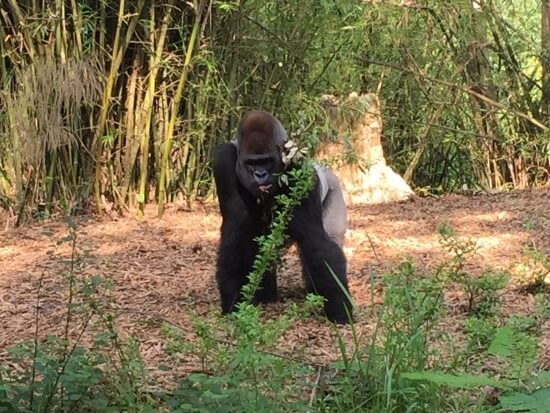 Gorilla at Animal Kingdom
