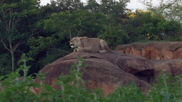 Lions ROAR during Kilimanjaro Safari at night tour in Disney's Animal Kingdom 2