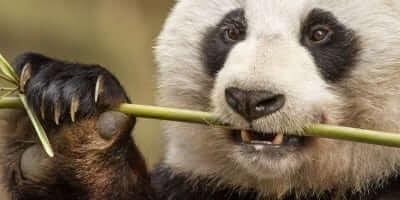 Character: YaYa - Pandas