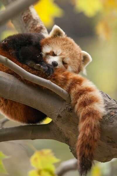 Character: Red Panda