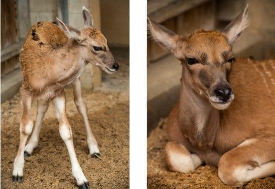 baby eland at animal kingdom