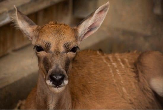 baby eland animal kingdom