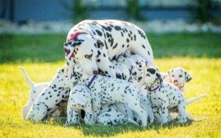 perdita and puppies