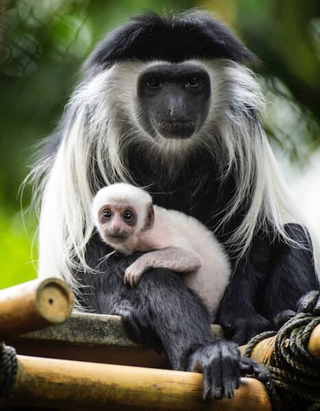 Angolan baby monkey at Disney's Animal Kingdom