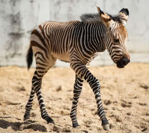 Baby Zebra at Disney's Animal Kingdom