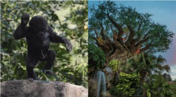 baby grace gorilla header
