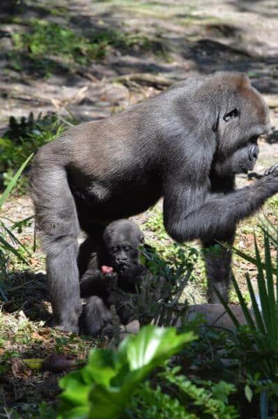 grace the gorilla 3