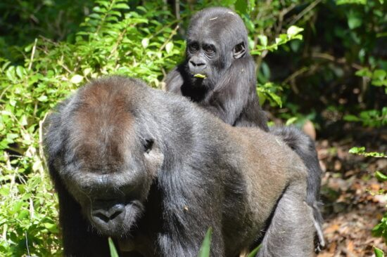 grace the gorilla 4