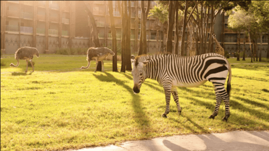 zebras jambo house