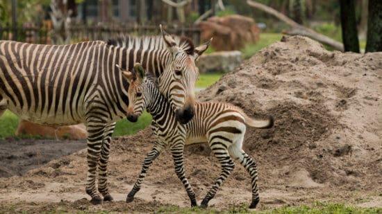 Zebra Foal at Disney's Animal Kingdom