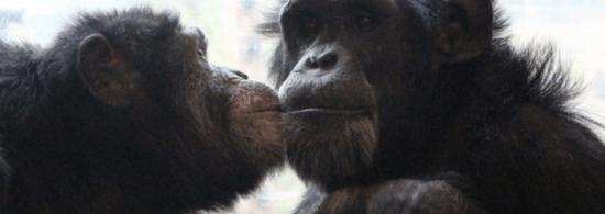 chimps in need