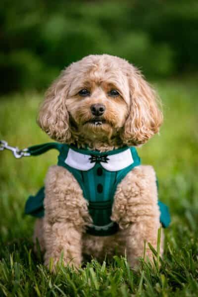 costume harness dog haunted mansion