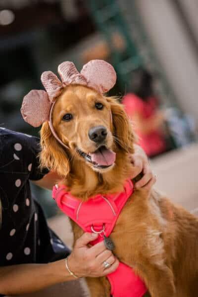 golden retriever as minnie mouse ears