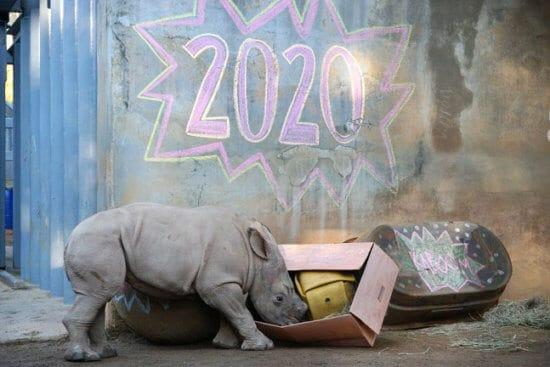 Rhino celebrating 2020 at Disney's Animal Kingdom