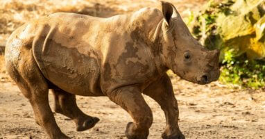 Ranger Rhino