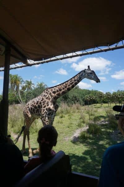 giraffes at the animal kingdom