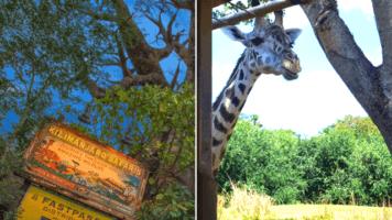 when animals take over at kilimanjaro safaris