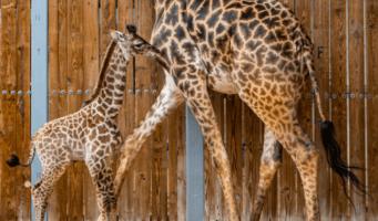 giraffe born at animal kingdom