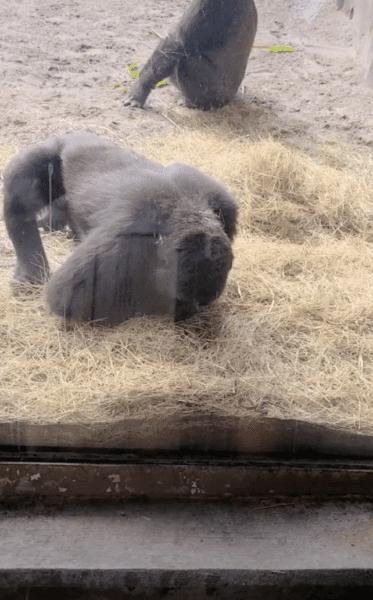 gorilla looking at snake in Animal Kingdom