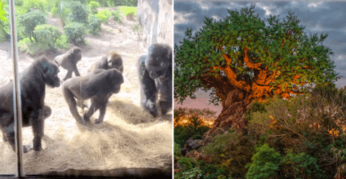 Group of Gorillas (left) and the Tree of Life at Animal Kingdom (r)