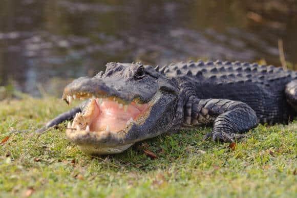 alligator in Everglades park in Florida