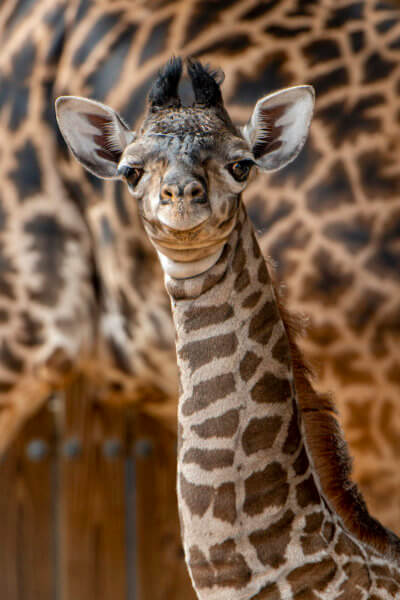 A heartfelt congratulations to our devoted animal care team for this latest animal birth at Disney's Animal Kingdom. It marks another success for the Association of Zoos and Aquariums' Species Survival Plan Program that oversees responsible breeding of threatened and endangered species. Giraffes are a vulnerable species facing a silent extinction in the wild, with a population decline of 40 percent over the past 30 years. There are roughly 35,000 Masai giraffes left in the wild, and their population continues to decline due to poaching and habitat destruction.