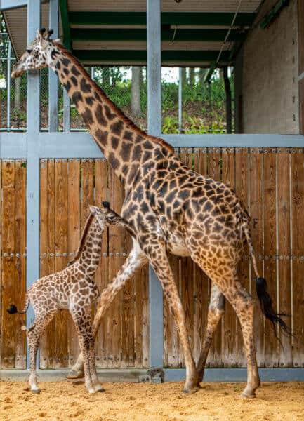 Disney's Animal Kingdom baby Giraffe
