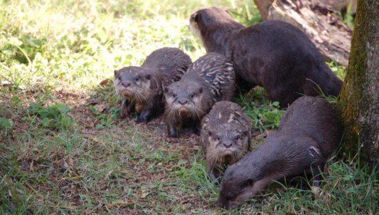 otters at animal kingdom