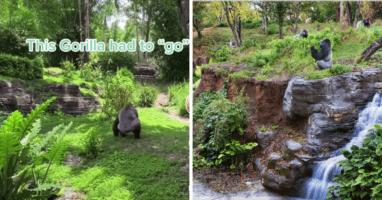 Animal Kingdom Gorillas