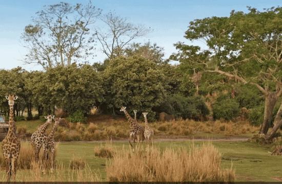 disney world kilimanjaro safaris giraffe