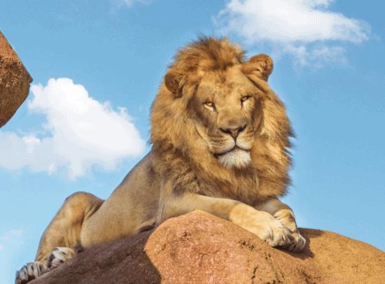 lion at disney world kilimanjaro safaris