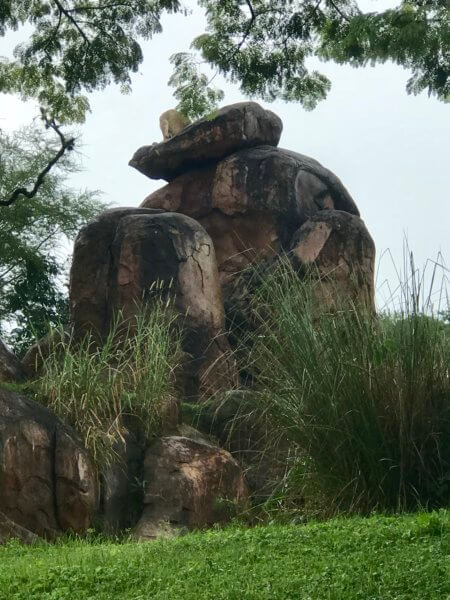 lion at disney's animal kingdom