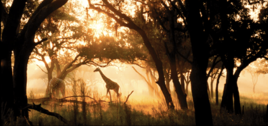 animal kingdom lodge giraffes