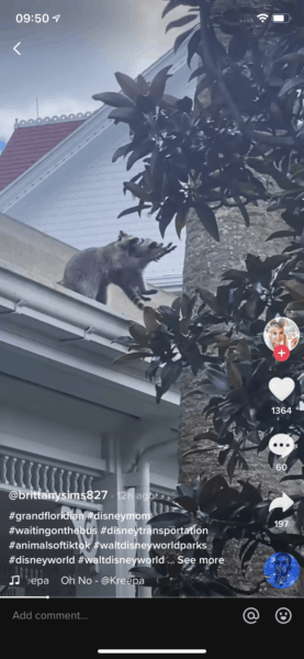 Video capture of Raccoon lifting another raccoon onto a tree