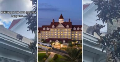 Raccoon on the roof of the Grand Floridian (left) The Grand Floridian (middle) Raccoon throwing baby onto tree (right)